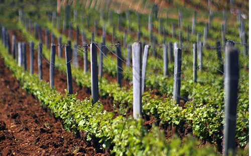 DRC vines